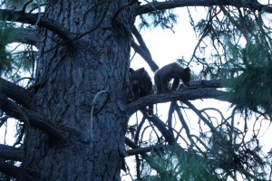 Bears in Sierra City