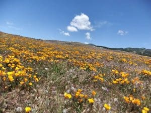 Wildflowers along the PCT