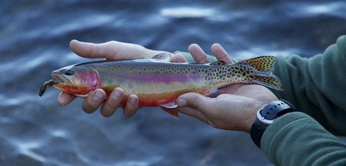 Golden Trout, Fly Fishing In Tahoe