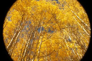 Aspens in Tahoe