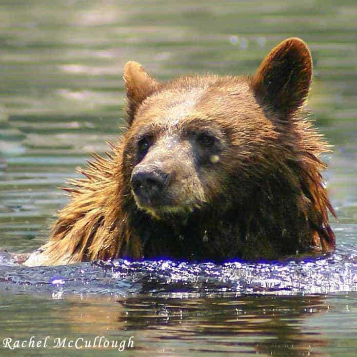Black-Bear-swimming-in-Summit-Creek-tahoe