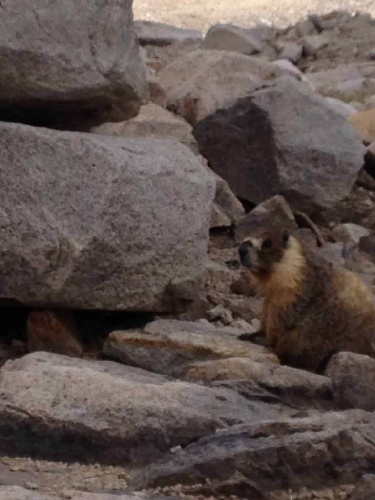 Lots of Marmots